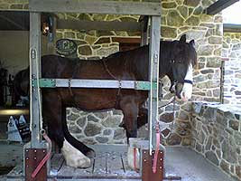 draft horse in stocks